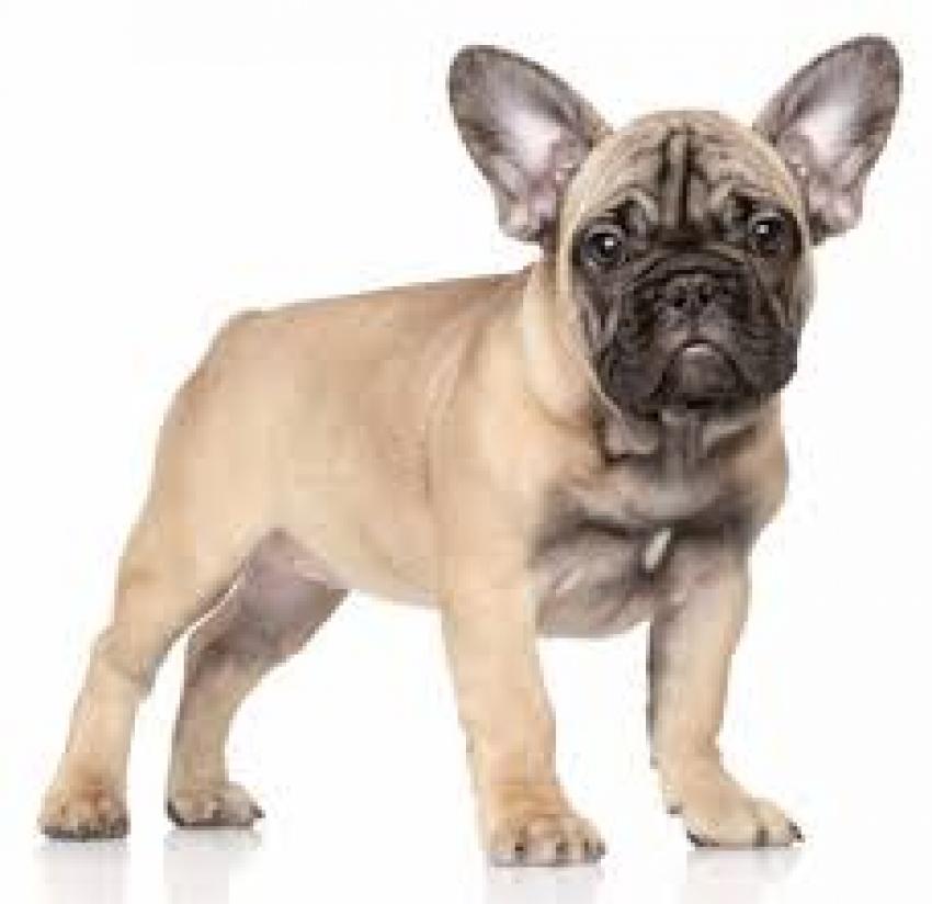 Il Bouledogue francese o bulldog francese. Le origini e lo standard
