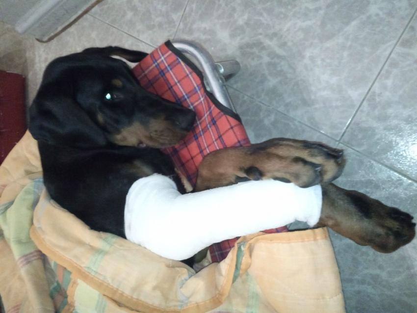 Vivere con un cucciolo di Dobermann: le cose che non ti aspetti