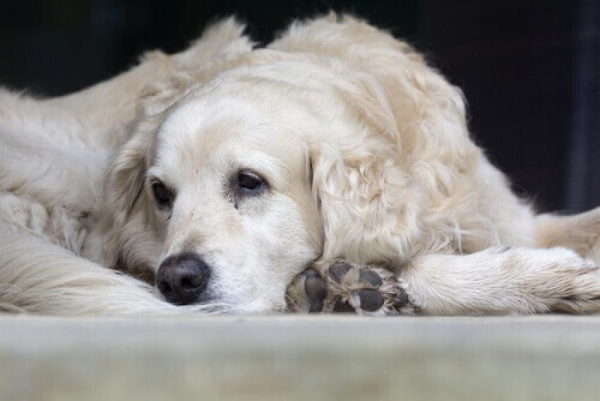 Il cane ed il morso di vipera: ecco cosa fare