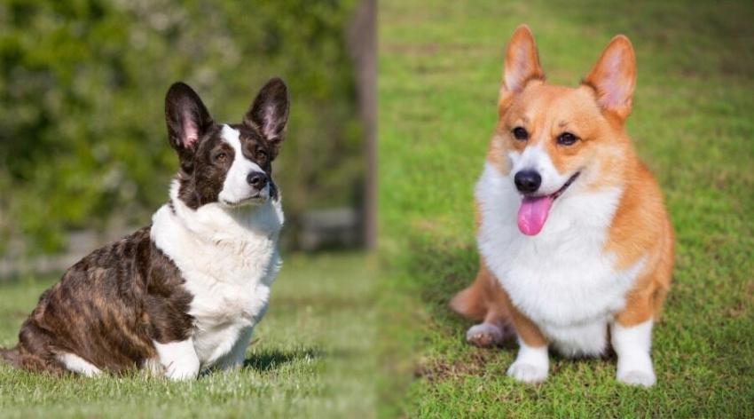 Le razze canine - Il Welsh Corgi Cardigan e Pembroke