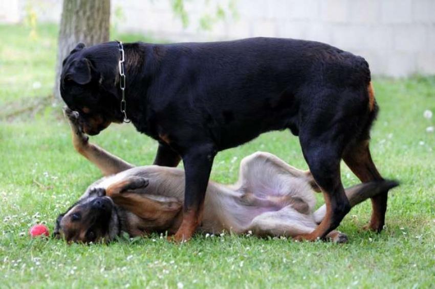 Capobranco e cane dominante: due vocaboli non sempre correttamente utilizzati