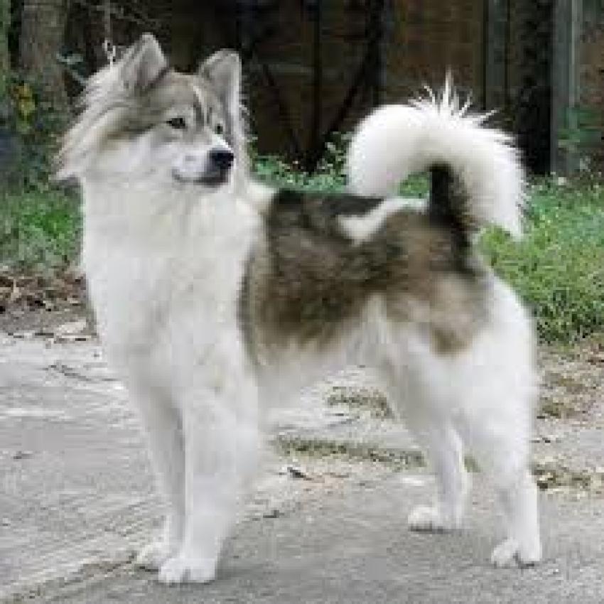 Le razze canine - Il Thai Bangkaew Dog