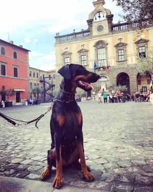 Vivere Con Un Cucciolo Di Dobermann