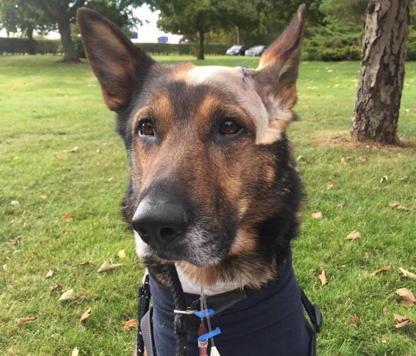 Gran Bretagna: si discute la Finn's law per proteggere i cani poliziotti
