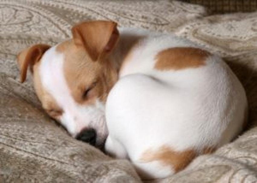 Perchè i cani girano su se stessi prima di dormire? Cani trottola e sonno
