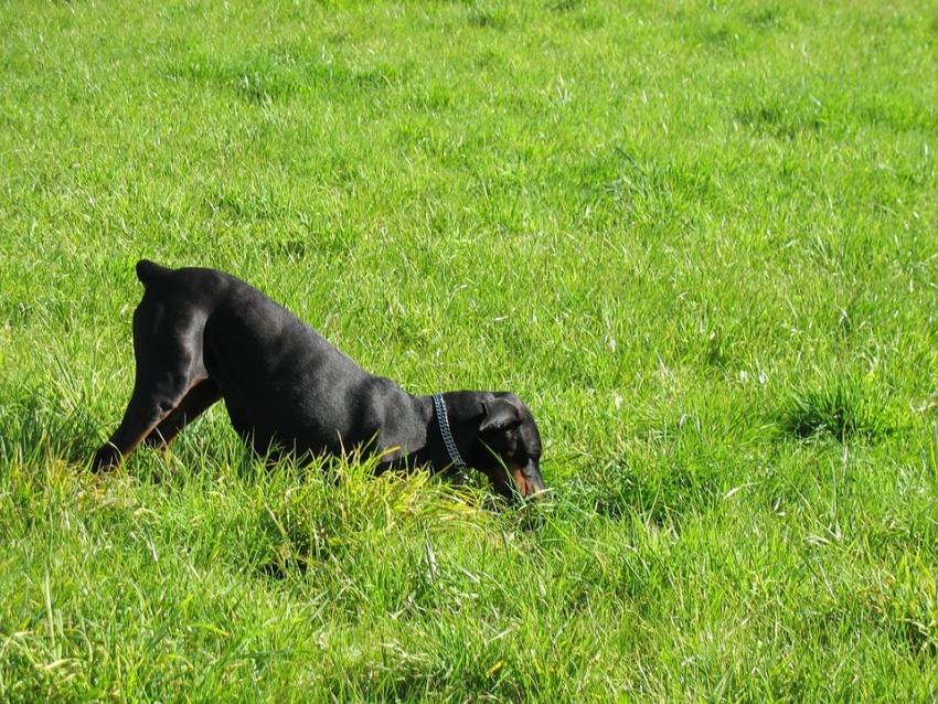 Perchè i cani scavano cani talpa e buche in giardino