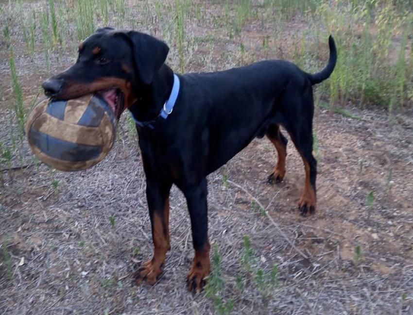 Vivere con un cucciolo di Dobermann: Illusioni