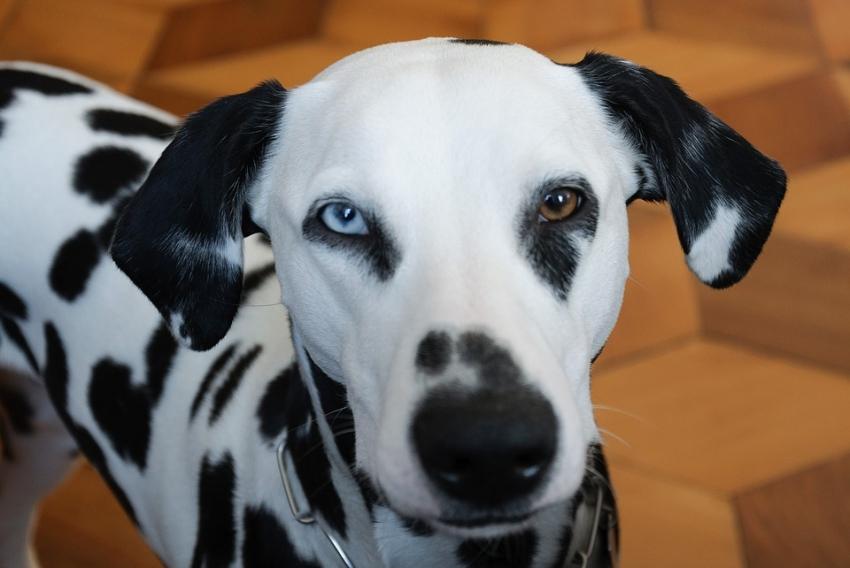 I cani e gli occhi di colore diverso: ecco cosa è l'eterocromia