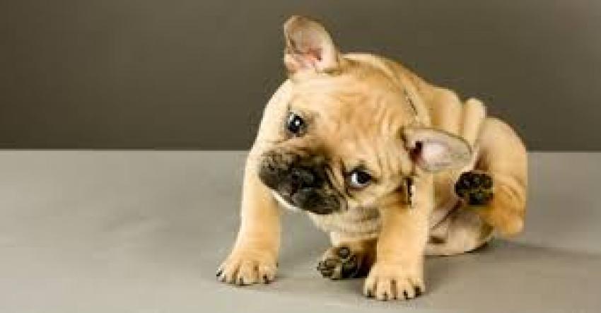 Collari antiparassitari cane: Beaphar, Scalibor e Seresto a confronto