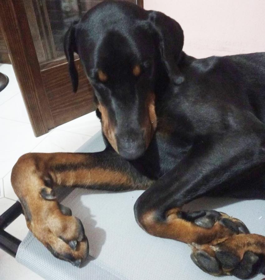 Vivere con un cucciolo di Dobermann: Visita medica