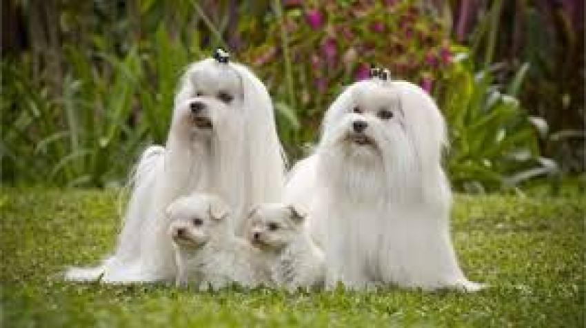 Le razze canine - Il Maltese