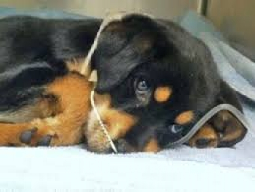 Parvovirosi canina: ecco perchè il nuovo ceppo è pericoloso per i cani vaccinati