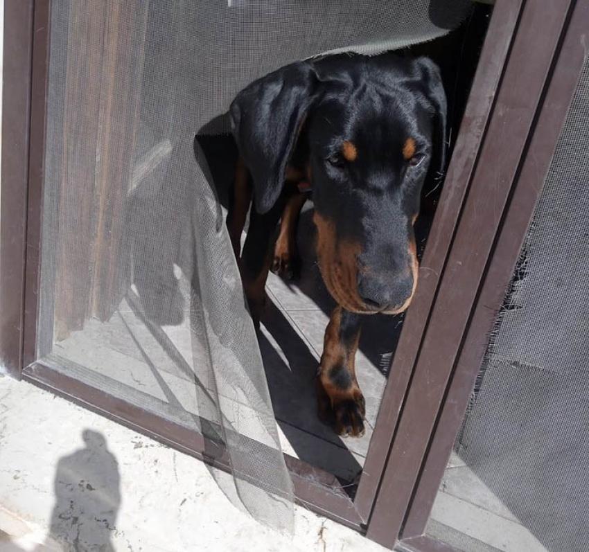 Vivere con un cucciolo di Dobermann: storia triste di una zanzariera