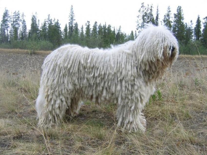 Le razze canine: il Komondor