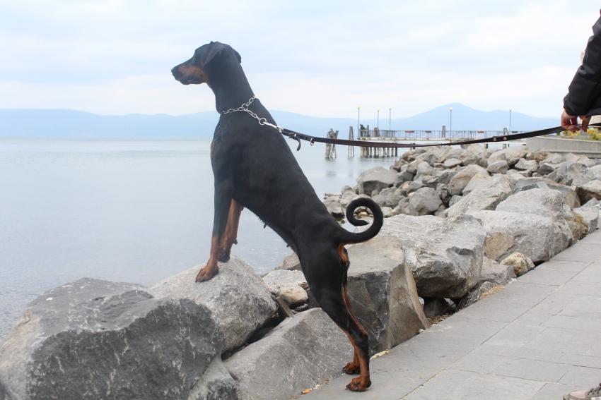 Le razze canine - Il Dobermann